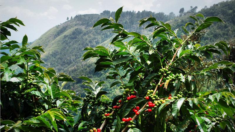 Arbore de cafea arabica